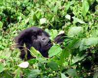 Juvenile Mountain Gorilla, Sabyinyo Group, Volcanoes National Park, Rwanda, Africa
