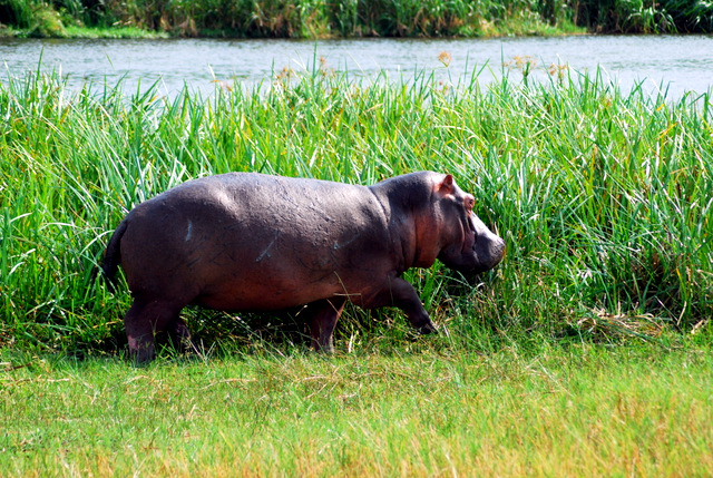 Hippopotamus gamboling beside the Nile River, Murchison Falls National Park, Uganda, Africa