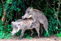Warthogs mating, Murchison Falls National Park, Uganda, Africa